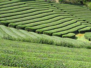 champ de thé