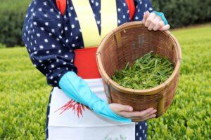 récolte du thé vert matcha