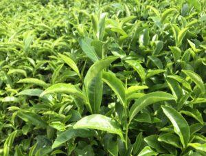 feuilles de thé vert japonais